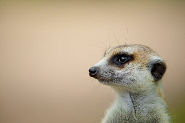 Meerkat Botswana,cute,Animal,Fauna,Mammal,mammals,Shannon Benson,Meerkat,meerkats,Shannon Wild,South Africa,Wild,Wildlife,Namibia,Africa,negative space,close up,close-up,face,head,soft,brown,alert,Herpestidae