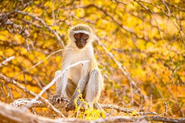 Vervet Monkey at dusk Africa,afternoon,alone,Animal,aroreal,backlit,Bush,Chlorocebus,Chlorocebus pygerythrus,dusk,Fauna,glow,golden,individual,Kruger,Kruger National Park,Kruger NP,lone,mammal,mammals,monkey,monkeys,ponder