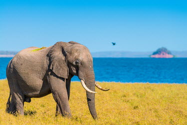 African elephant Africa,Animal,Animals,Fauna,Safari,Shannon Benson,Shannon Wild,South Africa,Wild,Wildlife,outdoors,outside,Mammal,Loxodonta,africana,African elephant,elephant,elephants,water,lake,Loxodonta africana,a