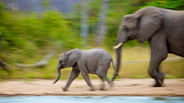 A baby African elephant runs in excited anticipation to a waterhole with family. active,Africa,African,African elephant,africana,Animal,Animals,baby,blur,elephant,Fauna,Loxodonta,Loxodonta africana,Mammal,outdoors,outside,run,Safari,Shannon Benson,Shannon Wild,slow shutter speed,S