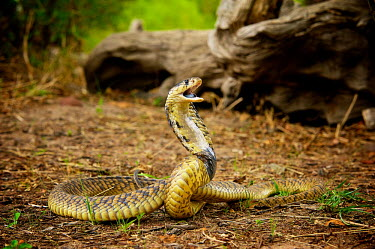 The snouted cobra (Naja annulifera) Africa,Animal,Animals,annulifera,Cleopatra,Cobra,Danger,Egyptian,Egyptian Cobra,Fauna,Naja,Naja annulifera,outdoors,outside,Shannon Benson,Shannon Wild,Snouted,Snouted Cobra,South Africa,Venomous,Wild