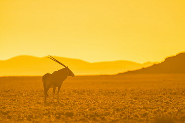 Oryx at Dusk Namibia Africa,Animal,Animals,Fauna,Safari,Shannon Benson,Shannon Wild,South Africa,Wild,Wildlife,outdoors,outside,oryx,gemsbok,antelope,antelopes,horns,golden,sunset,habitat,landscape,soft,hazy,Bovidae,Bison