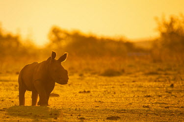 A baby White Rhino backlit at dusk Africa,Animal,Fauna,Safari,Shannon Benson,Shannon Wild,Wildlife,Wild,Animals,outside,outdoors,Dusk,Sunset,Yellow,Orange,Backlit,black market,Ceratotherium,Ceratotherium simum,Conservation,De-horn,De-h