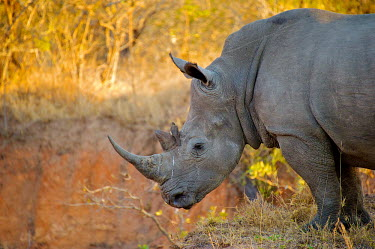 The white rhinoceros Africa,Animal,black market,Ceratotherium,Ceratotherium simum,Conservation,De-horn,De-horning,Dehorn,Dehorning,Endangered,Fauna,Horn,Hunt,Hunting,Illegal,illegal wildlife trade,Kill,Killing,Mammal,Poac