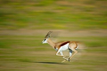 A Springbok (Antidorcas marsupialis) runs South Africa,Shannon Benson,Antidorcas,marsupialis,in motion,motion,Kalahari,Animal,Kgalagadi,Mata Mata,action,running,Springbok,Shannon Wild,Africa,motion blur,National Park,SAN Park,South Africa Nat