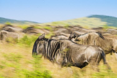 Wildebeest Africa,Animal,Animals,Fauna,Safari,Shannon Benson,Shannon Wild,South Africa,Wild,Wildlife,outdoors,outside,Connochaetes taurinus,wildebeest,motion blur,blur,motion,movement,run,running,herd,Mammalia,M