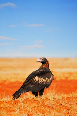 The Wedge-tailed Eagle adult,Animal,Aquila audax,Australia,Australia's Largest Eagle,Australian,background,beak,Bird,birds,birds of prey,Bird of Prey,blue,Blue Sky,close,colour,colourful,colorful,common,Close-up,close up,ne