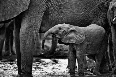 Thirsty Shannon Benson,Shannon Wild,Black and White,B&W,BW,Mono,Monotone,Monochromatic,Art,Photo Art,Animals,Wildlife Photography,Wildlife,Animal,elephant,elephants,African elephant,Baby,baby elephant,thirsty