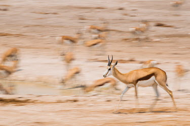 Springbok Africa,Animal,Animals,Fauna,Safari,Shannon Benson,Shannon Wild,South Africa,Wild,Wildlife,outdoors,outside,Antidorcas,marsupialis,in motion,motion,action,Springbok,motion blur,run,running,Antidorcas m