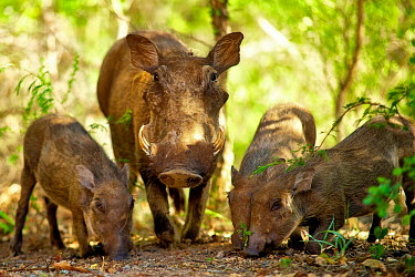 Warthog adult and young Africa,africanus,Animal,Animals,common warthog,Fauna,hog,Horizontal,Landscape,outdoors,outside,Phacochoerus,Phacochoerus africanus,pig,Safari,Shannon Benson,Shannon Wild,South Africa,Suidae,warthog,wa