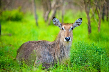 A Waterbuck (Kobus ellipsiprymnus) sitting amongst lush green bush looking at camera Africa,afternoon,Animal,antelope,antelopes,buck,bush,dusk,looking towards camera,Fauna,fluffy,full body,glow,green,Kobus ellipsiprymnus,landscape,lush,Mammal,mammals,relax,relaxed,rest,resting,Shannon