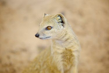 Yellow Mongoose (Cynictis penicillata) Yellow Mongoose,Cynictis,Mongoose,mongooses,portrait,landscape,Shannon Wild,Kgalagadi,Game Reserve,National Park,penicillata,eye,South Africa National Park,Animal,Wildlife,Yellow,close up,Mata Mata,SA