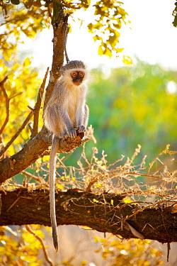 Vervet Monkey sitting in the afternoon light Africa,afternoon,alone,Animal,aroreal,backlit,Bush,Chlorocebus,Chlorocebus pygerythrus,dusk,Fauna,glow,golden,individual,Kruger,Kruger National Park,Kruger NP,lone,mammal,mammals,monkey,monkeys,ponder