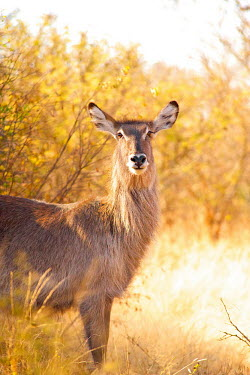 Waterbuck portrait Africa,afternoon,Animal,antelope,antelopes,buck,bush,close,close up,close-up,dusk,fauna,fluffy,glow,golden,Kobus ellipsiprymnus,mammal,mammals,portrait,Shannon Benson,Shannon Wild,South Africa,Waterbu