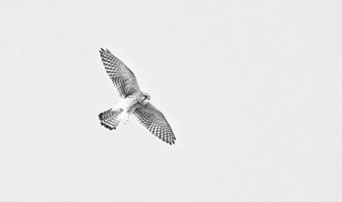 White falcon Animalia,Chordata,Aves,Falconiformes,Falconidae,Falco,falcon,falcons,bird of prey,birds of prey,flight,in flight,wings,wingspan,high key,black and white,b&w,black and white photography,monochrome