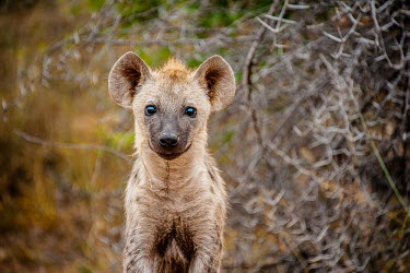 Young Hyena Portrait Africa,Animal,Animals,Fauna,Safari,Shannon Benson,Shannon Wild,South Africa,Wild,Wildlife,outdoors,outside,cute,Crocuta crocuta,hyena,hyenas,hyaenas,laughing hyaena,laughing hyena,spotted hyena,spotte