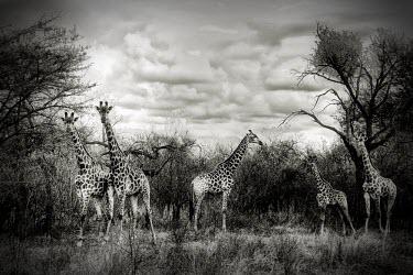 Meeting giraffe,giraffes,black and white,b&w,5,five,habitat,adult,adults,young,infant,infants,monochrome,clouds,Even-toed Ungulates,Artiodactyla,Chordates,Chordata,Mammalia,Mammals,Giraffidae,Giraffes,Terrest