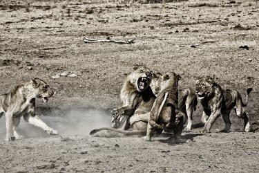 Fight lion,lions,big cat,big cats,cat,cats,fight,fighting,action,five,5,group,monochrome,teeth,snarl,attack,Felidae,Cats,Mammalia,Mammals,Carnivores,Carnivora,Chordates,Chordata,leo,Animalia,Savannah,Africa