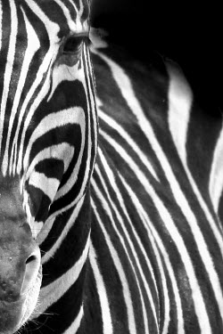 Plains zebra face close-up zebra,zebras,mammal,mammals,Equidae,equid,Perissodactyla,stripe,stripey,stripes,pattern,patterned,face,eyes,art,artistic impression,artistic,abstract,black and white,black and white photography,b&w,cl