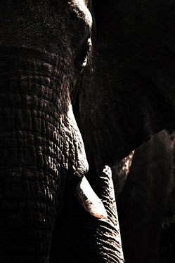 Elephant African elephant,elephant,elephants,black and white,black and white photography,b&w,tusk,texture,abstract,close up,close-up,mammal,mammals,dark,Elephants,Elephantidae,Chordates,Chordata,Elephants, Mam