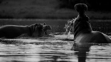 Hippopotamus in water black and white,black and white photography,b&w,mouth,teeth,water,river,hippo,hippos,hippopotamus,fight,fighting,agression,defence,behaviour,splash,Hippopotamidae,Hippopotamuses,Mammalia,Mammals,Even-