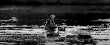 Hippopotamus group in water black and white,black and white photography,b&w,yawning,yawn,mouth,teeth,water,swimming,swim,group,river,hippo,hippos,hippopotamus,Hippopotamidae,Hippopotamuses,Mammalia,Mammals,Even-toed Ungulates,Ar
