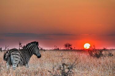 Plains zebra and sunset zebra,zebras,mammal,mammals,Equidae,equid,Perissodactyla,stripe,stripey,pattern,grassland,savannah,savanna,sunset,sun,sky,orange sky,orange,art,artistic,golden,disc,Digital manipulation,Chordates,Chor