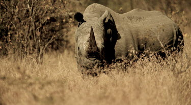 White rhinoceros grazing rhino,rhinos,rhinoceros,rhino horn,horn,mammal,mammals,African,safari,Perissodactyla,Rhinocerotidae,grazing,eating,feeding,dry,negative space,copy space,Rhinocerous,Odd-toed Ungulates,Mammalia,Mammals