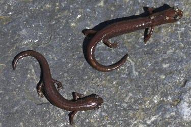 Juvenile Inyo mountains salamanders Various larval or tadpole stages,Salamanders,Caudata,Chordates,Chordata,Plethodontidae,Lungless Salamanders,Amphibians,Amphibia,Batrachoseps,campi,Animalia,IUCN Red List,North America,Scrub,Fresh wate