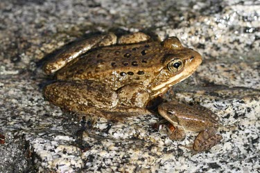 Cascades frog adult and juvenile Adult,Various larval or tadpole stages,Ranidae,Ranids,Amphibians,Amphibia,Anura,Frogs and Toads,Chordates,Chordata,Near Threatened,Ponds and lakes,Fresh water,Terrestrial,IUCN Red List,Aquatic,Mountai