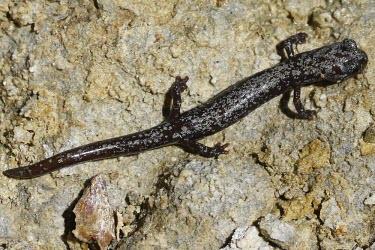 Juvenile Inyo mountains salamander Various larval or tadpole stages,Salamanders,Caudata,Chordates,Chordata,Plethodontidae,Lungless Salamanders,Amphibians,Amphibia,Batrachoseps,campi,Animalia,IUCN Red List,North America,Scrub,Fresh wate