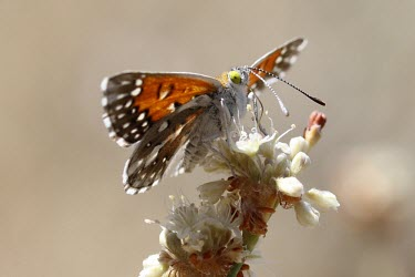 Male Lange's metalmark butterfly feeding Lepidoptera,Butterflies, Skippers, Moths,Arthropoda,Arthropods,Riodinidae,Metalmark Butterflies,Insects,Insecta,Fluid-feeding,Herbivorous,Terrestrial,North America,Apodemia,Animalia,Flying,Sand-dune