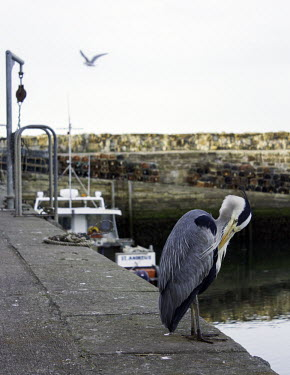 Harbour heron heron,herons,preening,feathers,care,harbour,fishing,boat,wall,side,Animalia,Chordata,Aves,Pelecaniformes,Ardeidae,Ardea,bird,birds