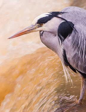 Heron Animalia,Chordata,Aves,Pelecaniformes,Ardeidae,Ardea,heron,herons,bird,birds,watching,waiting,predator,close-up,close up,water,stream,waterfall,beak,feathers