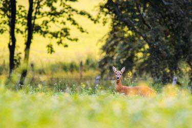 Roe deer Roe deer,deer,mammals,secretive,grass,shallow focus,negative space,looking at camera,side,countryside,Cervidae,Deer,Chordates,Chordata,Even-toed Ungulates,Artiodactyla,Mammalia,Mammals,Urban,capreolus