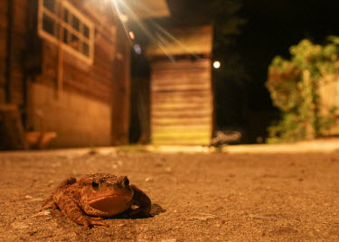 Toad toad,toads,night,night time,night-time,house,garden,urban,wildlife,light,lit,negative space,looking towards camera,grumpy,Chordates,Chordata,Anura,Frogs and Toads,Bufonidae,Toads,Amphibians,Amphibia,A