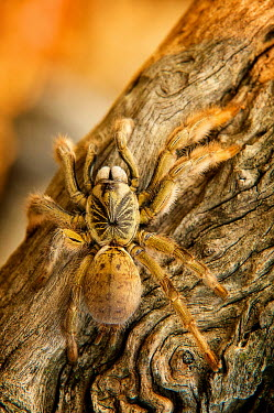 Golden Brown Baboon Spider Africa,Animal,Animals,Arachnid,Augacephalus,Augacephalus breyeri,Baboon Spider,breyeri,Brown,Fauna,Golden,Golden Brown Baboon Spider,Hoedspruit,outdoors,outside,Shannon Benson,Shannon Wild,South Afric
