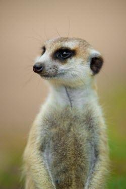Meerkat Shannon Wild,Namibia,Meerkat,South Africa,Fauna,Botswana,Animal,Wildlife,Africa,cute,Wild,Shannon Benson,Mammal,mammals,meerkats,face,soft,brown,alert,Herpestidae,Mongooses, Meerkat,Carnivores,Carnivo