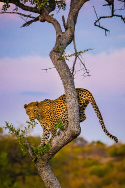 Leopard (Panthera pardus) in a tree at dusk Africa,Animal,Animals,Fauna,Safari,Shannon Benson,Shannon Wild,South Africa,Wild,Wildlife,outdoors,outside,Portrait,Vertical,Leopard,Cat,Panther,Feline,Panthera,Panthera pardus,spots,Wild Cat,Big Cat,