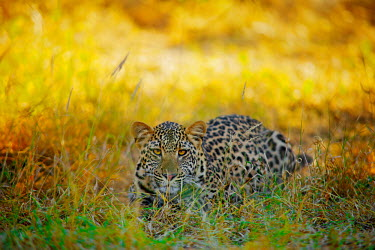 The leopard (Panthera pardus) Cat,Shannon Benson,Panthera,Panthera pardus,spots,Shannon Wild,Wild,Feline,Wild Cat,Wildlife,Animal,Africa,Leopard,South Africa,Big Cat,Fauna,Panther,cats,big cat,big cats,wild cats,leopards,colourful