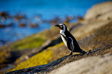 African penguin Africa,African Penguin,African penguins,Animal,Animals,bird,birds,black,black and white,black-footed,black-footed penguin,Cape Town,endangered,Fauna,feathers,jackass,jackass penguin,marine,outdoors,ou