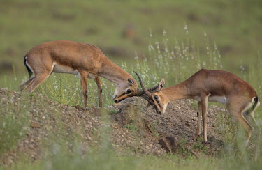 Chinkara fighting gazelle,gazelles,Bovid,Bovids,Bovidae,Cetartiodactyla,mammals,mammal,mammalia,Chordata,male,males,fight,fighting,horns,antlers,behaviour