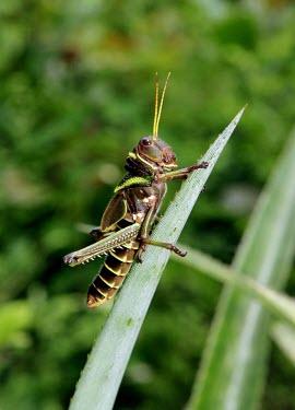 Grasshopper brazil,latin america,animal,insect,insects,invertebrate,invertebrates,amazon,spanish,forest,forests,climate change,global warming,verticals,rainforest,rainforests,shallow focus,Arthropoda,Arthropods,I