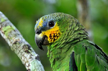 Parrot in the Amazon, Brazil brazil,bird,birds,latin america,animal,horizontal,amazon,parrot,parrots,spanish,forest,forests,climate change,global warming,rainforest,rainforests,Orange-winged Amazon,Animalia,Chordata,Aves,Psittaci