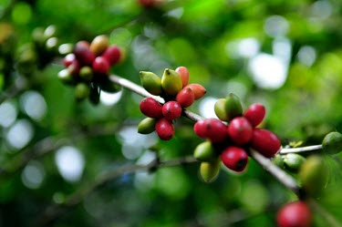 Coffee production at Boa Frente Brazil,Amazon,spanish,rainforest,rainforests,climate change,coffee,forests,fruit,global warming,horizontal,latin america,production,red,green,shallow focus,amazon,brazil