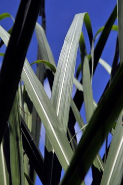 Sugarcane production in the Brazilian Amazon Brazil,leaf,latin america,amazon,spanish,forests,sugarcane,verticals,rainforests,sugar cane,sugar,leaves,blue sky,close-up,close up,brazil,leave