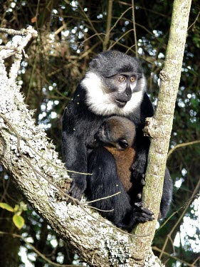 A baby l'Hoest's monkey suckles on its mother africa,wild,animal,animals,monkey,monkeys,wildlife,uganda,forest,forests,verticals,rainforest,rainforests,mother,baby,adult,female,young,infant,primate,primates,suckling,parental care,suckles,feeding,
