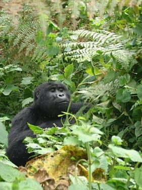 A gorilla (Gorilla beringei) in Uganda's forest africa,wild,animals,horizontal,forest,gorilla,gorillas,wildlife,uganda,rainforests,adult,male,primate,primates,hidden,undergrowth,face,great ape,great apes,Mammalia,Mammals,Chordates,Chordata,Primates