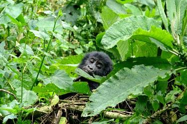 A juvenile gorilla (Gorilla beringei) eating in Uganda's forest africa,wild,animal,animals,gorilla,wildlife,uganda,forests,rainforests,juvenile,infant,young,gorillas,primate,primates,looking towards camera,hidden,face,undergrowth,foliage,great ape,great apes,Mamma