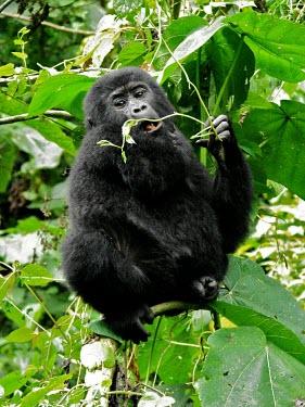 A juvenile gorilla (Gorilla beringei) eating in Uganda's forest africa,wild,animal,animals,gorilla,wildlife,uganda,forests,rainforests,juvenile,infant,young,gorillas,primate,primates,eating,feeding,in tree,looking towards camera,great ape,great apes,Mammalia,Mamma